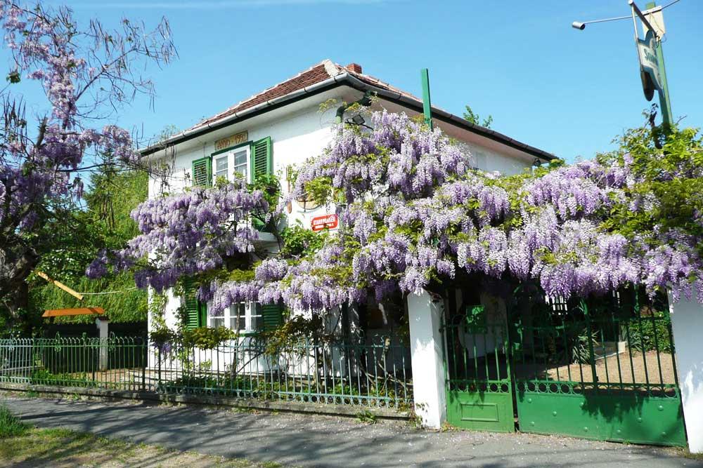 Akácvirágzás /die Blütezeiten von Akazie